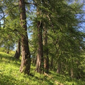 - Larix decidua subsp. decidua