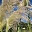 Florent Beck - Cortaderia selloana (Schult. & Schult.f.) Asch. & Graebn.