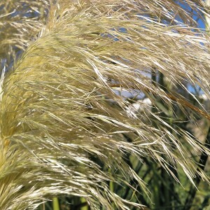 Cortaderia selloana (Schult. & Schult.f.) Asch. & Graebn. (Herbe de la pampa)