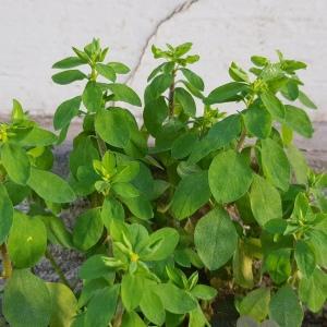 Photographie n°2456785 du taxon Euphorbia peplus L.