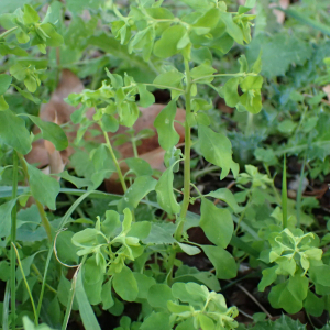 Photographie n°2457424 du taxon Euphorbia peplus L.