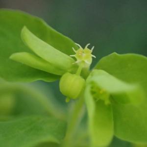 Photographie n°2457425 du taxon Euphorbia peplus L.