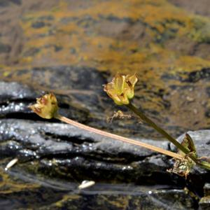Photographie n°2457643 du taxon Ranunculus aconitifolius L. [1753]