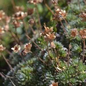 Photographie n°2457659 du taxon Androsace villosa L. [1753]