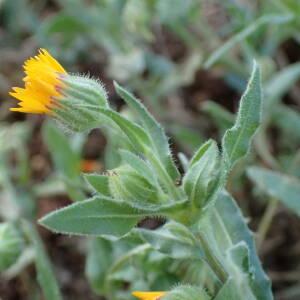 - Calendula arvensis L.