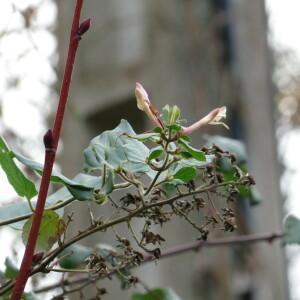 Photographie n°2457963 du taxon Lonicera japonica Thunb.