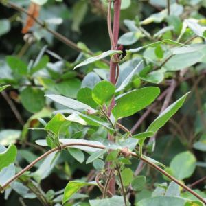 - Lonicera japonica Thunb.