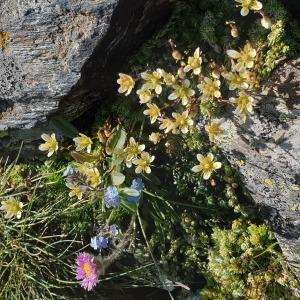 Photographie n°2458440 du taxon Saxifraga bryoides L. [1753]
