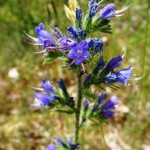 Echium vulgare L. var. vulgare (Vipérine commune)