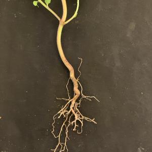 Photographie n°2458810 du taxon Euphorbia peplus L. [1753]
