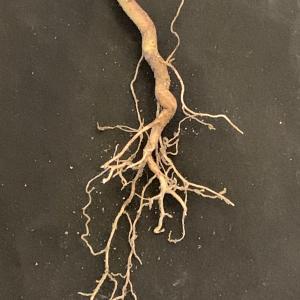 Photographie n°2458811 du taxon Euphorbia peplus L. [1753]