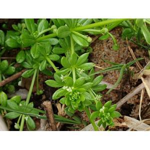 Galium verrucosum var. halophilum (Ponzo) Natali & Jeanm. (Gaillet halophile)