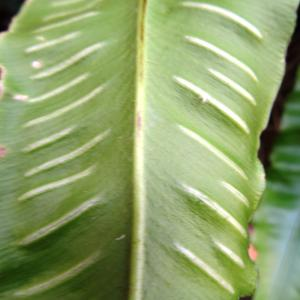 Photographie n°2458913 du taxon Asplenium scolopendrium L. [1753]