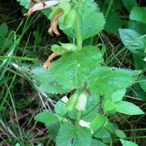 Photographie n°2459049 du taxon Melittis melissophyllum L. [1753]
