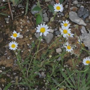 Photographie n°2459417 du taxon Anthemis arvensis L.