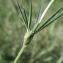 Jean- Marie Martig - Trifolium angustifolium L.