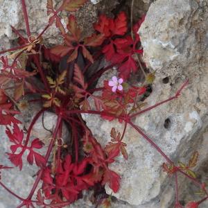 - Geranium purpureum Vill.