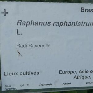 Photographie n°2459669 du taxon Raphanus raphanistrum L. [1753]