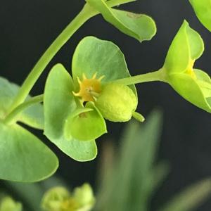Euphorbia segetalis L. (Euphorbe des moissons)