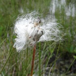 - Eriophorum angustifolium Honck. [1782]