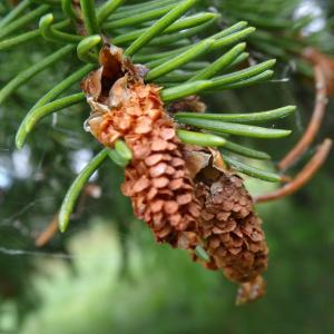 Picea abies (L.) H.Karst. (Épicéa)