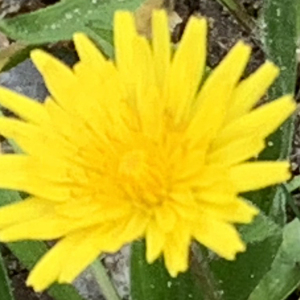 Photographie n°2460980 du taxon Crepis sancta (L.) Bornm. [1913]