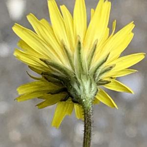Photographie n°2460981 du taxon Crepis sancta (L.) Bornm. [1913]