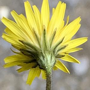Photographie n°2460982 du taxon Crepis sancta (L.) Bornm. [1913]