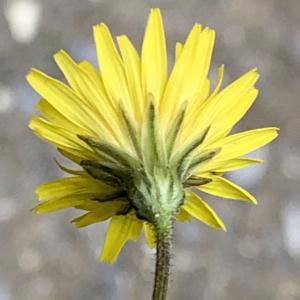 Photographie n°2460983 du taxon Crepis sancta (L.) Bornm. [1913]