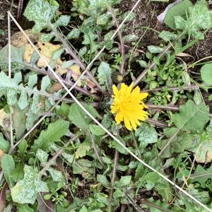 Photographie n°2460986 du taxon Crepis sancta (L.) Bornm. [1913]