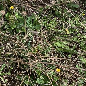 Photographie n°2461001 du taxon Crepis sancta (L.) Bornm. [1913]