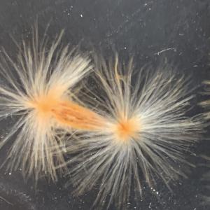 - Nerium oleander L. [1753]
