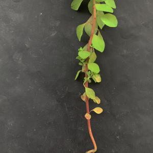 Photographie n°2462004 du taxon Euphorbia peplus L. [1753]