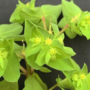 Photographie n°2462005 du taxon Euphorbia peplus L. [1753]