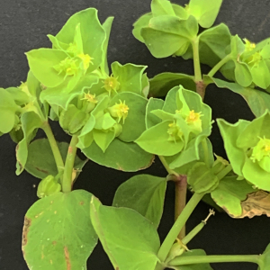 Photographie n°2462006 du taxon Euphorbia peplus L. [1753]