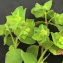 Liliane Roubaudi - Euphorbia peplus L. [1753]