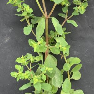 Photographie n°2462008 du taxon Euphorbia peplus L. [1753]