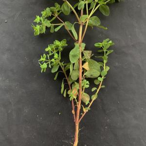 Photographie n°2462010 du taxon Euphorbia peplus L. [1753]