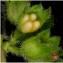 Pierre Papleux - Glechoma hederacea L. [1753]