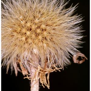 Photographie n°2462312 du taxon Leontodon saxatilis Lam. [1779]