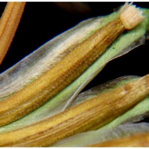 Photographie n°2462313 du taxon Leontodon saxatilis Lam. [1779]