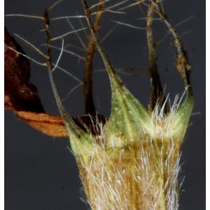 Photographie n°2462349 du taxon Trifolium pratense L. [1753]