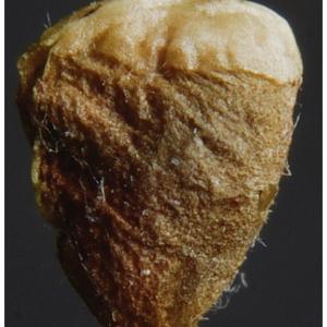 Photographie n°2462350 du taxon Trifolium pratense L. [1753]