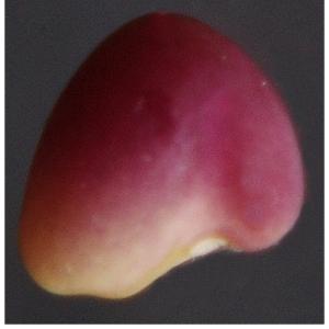 Photographie n°2462351 du taxon Trifolium pratense L. [1753]