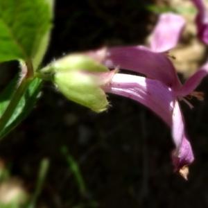 Photographie n°2462437 du taxon Melittis melissophyllum subsp. melissophyllum