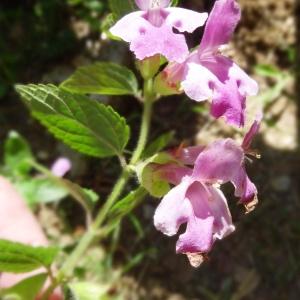 Photographie n°2462438 du taxon Melittis melissophyllum subsp. melissophyllum