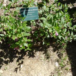 Photographie n°2462439 du taxon Melittis melissophyllum subsp. melissophyllum