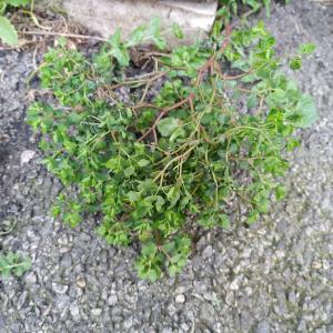 Photographie n°2462508 du taxon Euphorbia peplus L.