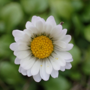 Photographie n°2462557 du taxon Bellis perennis L.