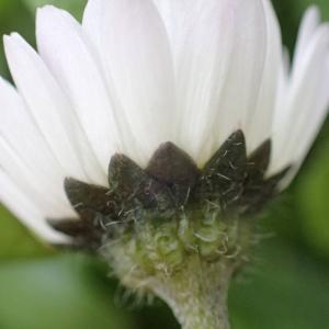 Photographie n°2462562 du taxon Bellis perennis L.